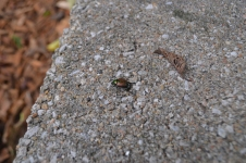 Park beetle.