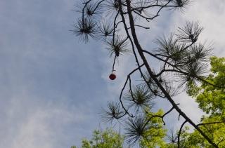 Bobber in Tree